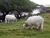 Mountain sheep along a5 road wales welsh uk