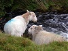 Two mountain sheep by road wales welsh uk